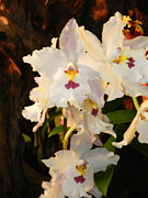 Orchid Show Prints - Orchids Beauties - J Print by Wayne Sheeler