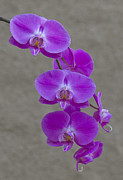 Orchids Art - Orchids by Dennis Reagan
