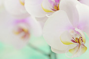 Flower-in-bloom Prints - Orchids Print by Dhmig Photography