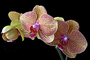Orchidaceae Framed Prints - Orchids Framed Print by Garry Gay