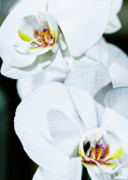 Orchids Art - Orchids II by W Kurt Staley