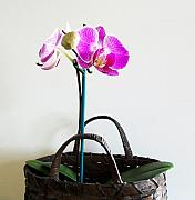 Basket Photo Originals - Orchids in a Basket by Marsha Heiken