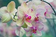 Easter Flowers Posters - Orchids Poster by June Marie Sobrito