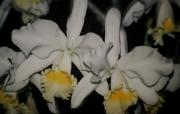 Puerto Rico Photo Originals - Orchids Satin by Alice Terrill