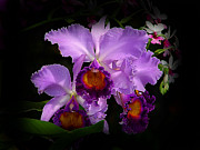 Cattleyas Prints - Orchidstral Beauty Print by Blair Wainman