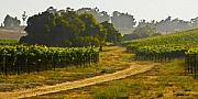 Vineyard Landscape Framed Prints - Orcutt Vineyard Framed Print by Patricia Stalter