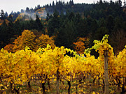 Golds Framed Prints - Oregon Autumn Vineyards Framed Print by Glenna McRae