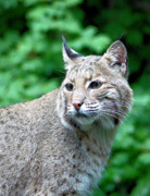 Bobcat Photo Posters - Oregon Bobcat Poster by Nick Gustafson