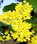 Grape Leaves Photos - Oregon Grape Blossoms by Will Borden