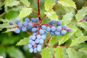 Blue Grapes Photos - Oregon Grapes by Terri McKee