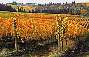 Wine Country. Prints - Oregon Wine Country Print by Margaret Hood