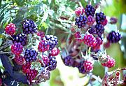 Steve Ohlsen Metal Prints - Oregonian Wild Berries Metal Print by Steve Ohlsen