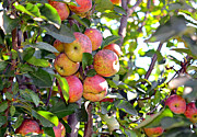 Susan Leggett Acrylic Prints - Organic Apples in a Tree Acrylic Print by Susan Leggett
