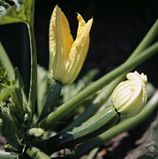 Organic Courgettes Print by Sheila Terry