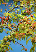 Gardening Photography Art - Organic Peach Tree, by Pete Starman