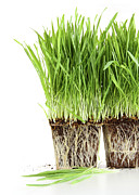 Sprout Posters - Organic wheat grass on white Poster by Sandra Cunningham