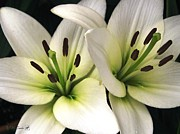 Jem Fine Arts Prints - Oriental Lily named Endless Love Print by J McCombie