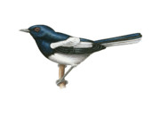 Magpies Drawings Metal Prints - Oriental Magpie-Robin Metal Print by Lionel Portier