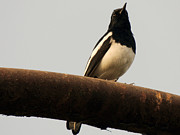 Electric Pyrography - Oriental magpie robin  by Ramesh Chand
