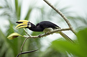 Pangkor Laut Posters - Oriental Pied Hornbill Poster by Leonid Serebrennikov