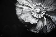 Charmian Vistaunet Framed Prints - Oriental Poppy Framed Print by Charmian Vistaunet