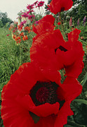 Oriental Poppy. Framed Prints - Oriental Poppy Flowers, Papaver Orientale Framed Print by David Nunuk
