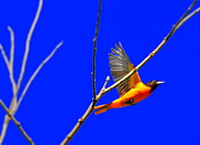 Orioles Prints - Oriole Flight Print by Emily Stauring