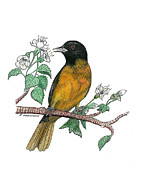 Oriole Drawings Framed Prints - Oriole Framed Print by Richard Freshour