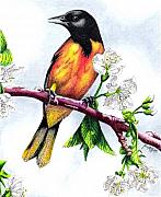 Oriole Drawings Metal Prints - Oriole Metal Print by Scarlett Royal