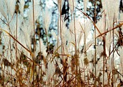 Bridget Johnson Metal Prints - Ornamental Grass Metal Print by Bridget Johnson