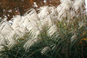 Diane Merkle Posters - Ornamental Grass Poster by Diane Merkle