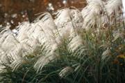 Diane Merkle - Ornamental Grass