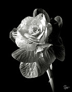 Flower Photos Posters - Ornamental Kale in Black and White Poster by Endre Balogh