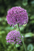 Umbel Prints - Ornamental Onion (allium Aflatunense) Print by Archie Young