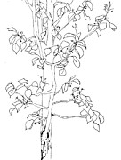 Ornamental Drawings - Ornamental Pear 0512 by Theresa Dansin