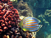 Tropical Fish Posters - Ornate Butterflyfish on the Reef Poster by Bette Phelan
