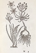 1566 Posters - Ornithogalum Plant, 16th Century Poster by Middle Temple Library