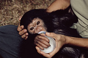 Hand Fed Framed Prints - Orphaned Chimpanzee Framed Print by Tony Camacho