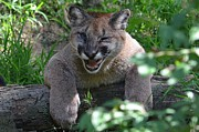 Laurie Adams - Orphaned Cougar