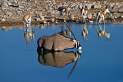 Springbok Framed Prints - Oryx Etosha Waterhole Framed Print by David Kleinsasser