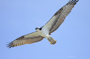 Osprey Florida Framed Prints - Osprey 1-30-11 Framed Print by Deborah Benoit