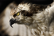 Eye Photos - Osprey by Adam Romanowicz