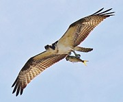 Osprey Carrying His Lunch Print by Thomas Photography  Thomas