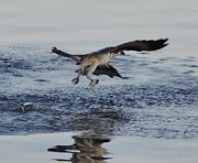 Osprey Florida Framed Prints - Osprey Catching a Fish Framed Print by Bill Cannon