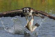 Wildlife Posters - Osprey Catching Trout Poster by Scott  Linstead