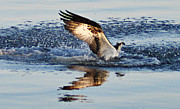 Osprey Florida Framed Prints - Osprey Crashing the Water Framed Print by Bill Cannon