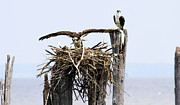 Colonial Beach Virginia Acrylic Prints - Osprey Family Acrylic Print by Kaye Seaboch