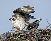 Larry Gambon - Osprey Family