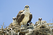 Osprey Florida Framed Prints - Osprey Family Portrait Framed Print by Patrick M Lynch