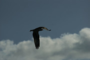 Birds In Flight Photos - Osprey Flying High by Ernie Echols